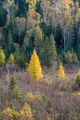 Superior National Forest,autumn,calm,minnesota,tamarack,tamarack tree