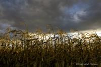 Corn Stalks under Heavy Skies