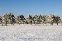 hoar frost, minnesota, pines, state park