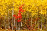 forest, chippewa national forest, minnesota, aspen, maple