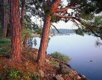 red pines, minnesota