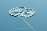 Allemansratt,blue,calm,green,lily pads,reflections,water