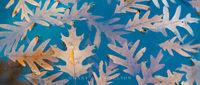 Allemansratt,leaf,minnesota,oak,oak leaves,reflections