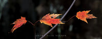 autumn,interstate park,interstate state park,maple,maple leaf,minnesota,state park