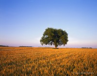 minnesota, tree, wheat
