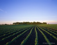 soybeans, minnesota, rows