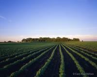 soybeans, minnesota, rows