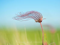 Prairie Smoke, (Geum triflorum), Prairie Marshes Wildlife Management Area, Minnesota