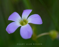 Oxalis violacea, violet wood-sorrel, Prairie, Marshes, Wildlife Management Area, Minnesota