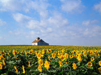 Red River Valley, North Dakota, sunflowers, barn