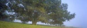 fog, oak tree, california