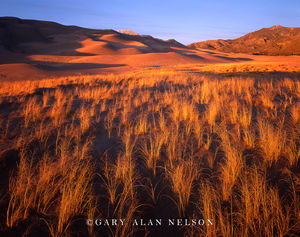 Great Sand Dunes National Park, Colorado, rice grass