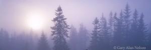 pines, fog, idaho