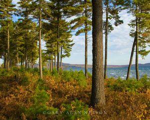 White Pines along Lake Superior