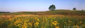 Coneflowers on Rolling Prairie