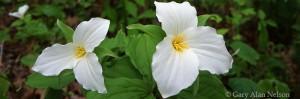 white trillium, minnesota, state wildlife management area