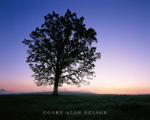 Oak Silhouette at Dawn