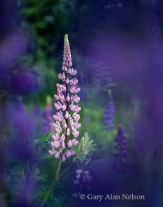 lupines, minnesota, lake superior, north shore