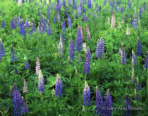 lupines, lake superior, north shore, minnesota