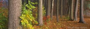 minnesota, white pine, fog, state park, st. croix national scenic river