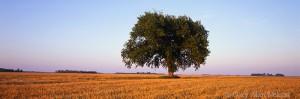 Tree in Wheatfield