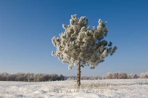 Lone Pine Covered with Frost