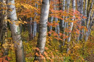 minnesota, state park, maple trees, birch