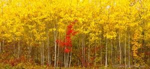 minnesota, aspens, maples, national forest