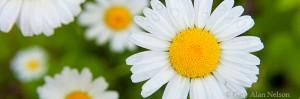 minnesota, daisies