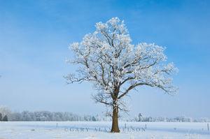minnesota, oak, oak savannah, hoar frost