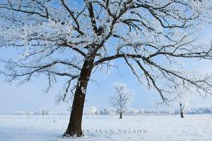 hoar frost, minnesota, oak savannah
