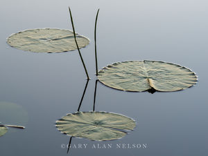 Allemansratt park,bulrushes,lily pads pads