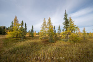 autumn,minnesota,national forest,tamarack tree