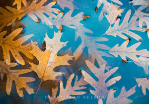 Allemansratt,leaf,minnesota,oak,oak leaves,reflections