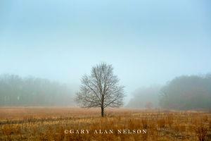 Prairie and oak in the fog