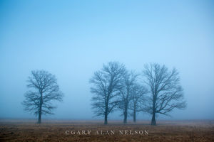 fog, minnesota, oak tree