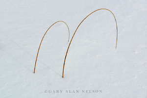 Bulrushes in the snow