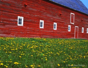 Red Barn and Dandelions
