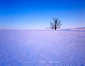 oak tree, frozen, windblown, prairie, minnesota