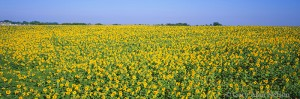 sunflowers, minnesota