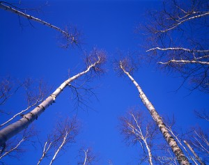 birch trees, minnesota, superior national forest