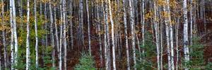 state forest, blackhoof, minnesota, aspen, spruce