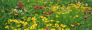 prairie flowers, minnesota