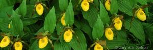 yellow ladyslippers, minnesota