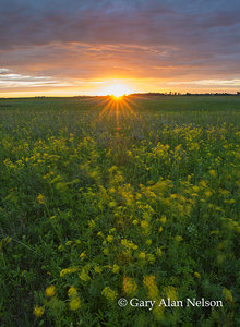 Golden alexanders, sunset, prairie and sky, Butternut Valley Prairie SNA, Minnesota