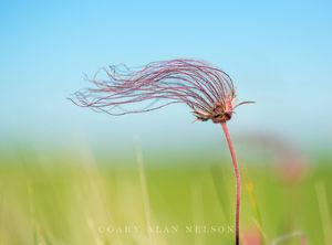 Prairie Smoke, (Geum triflorum), Prairie Marshes Wildlife Management Area, Minnesota
