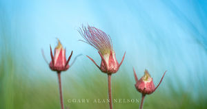 Prairie Smoke, (Geum triflorum), Prairie, Marshes, Wildlife Management Area, Minnesota