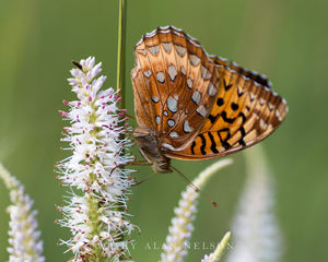 Great Spangled Butterfly