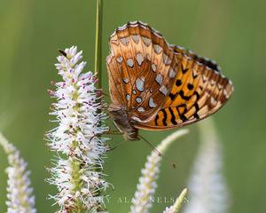 butterfly, minnesota, prairie