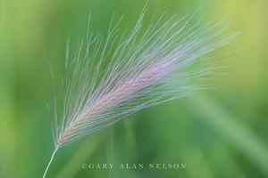 foxtail barley, minnesota